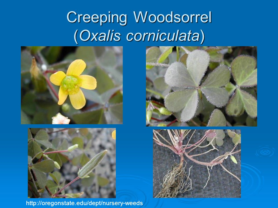 Creeping Woodsorrel (Oxalis corniculata)