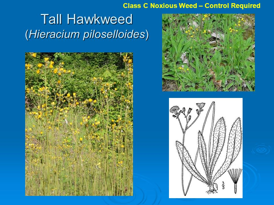 Tall Hawkweed (Hieracium piloselloides)
