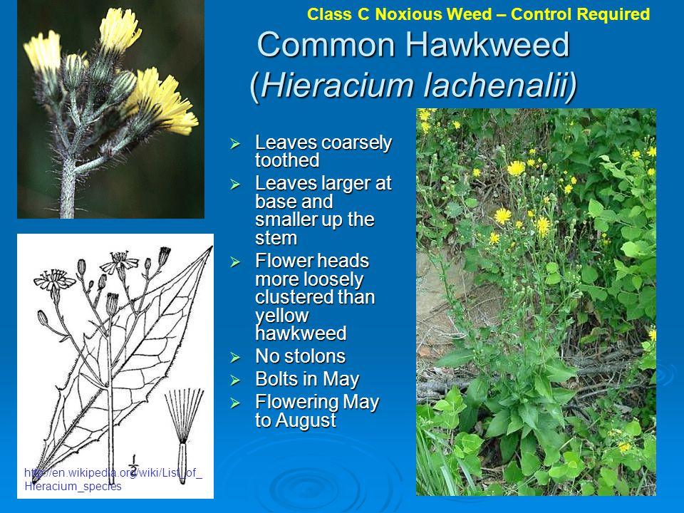 Common Hawkweed (Hieracium lachenalii)