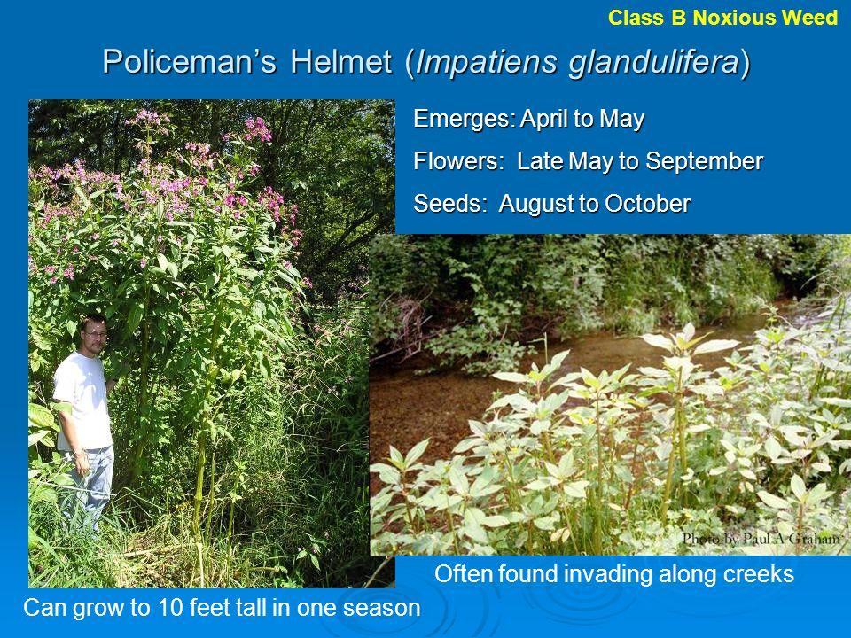 Policeman's Helmet (Impatiens glandulifera)