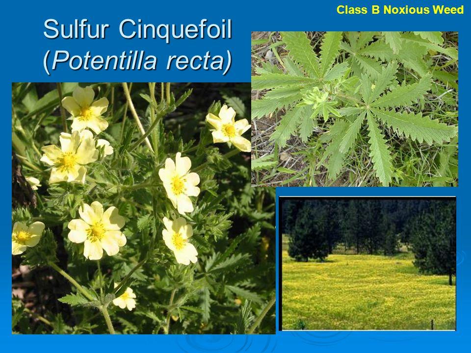 Sulfur Cinquefoil (Potentilla recta)
