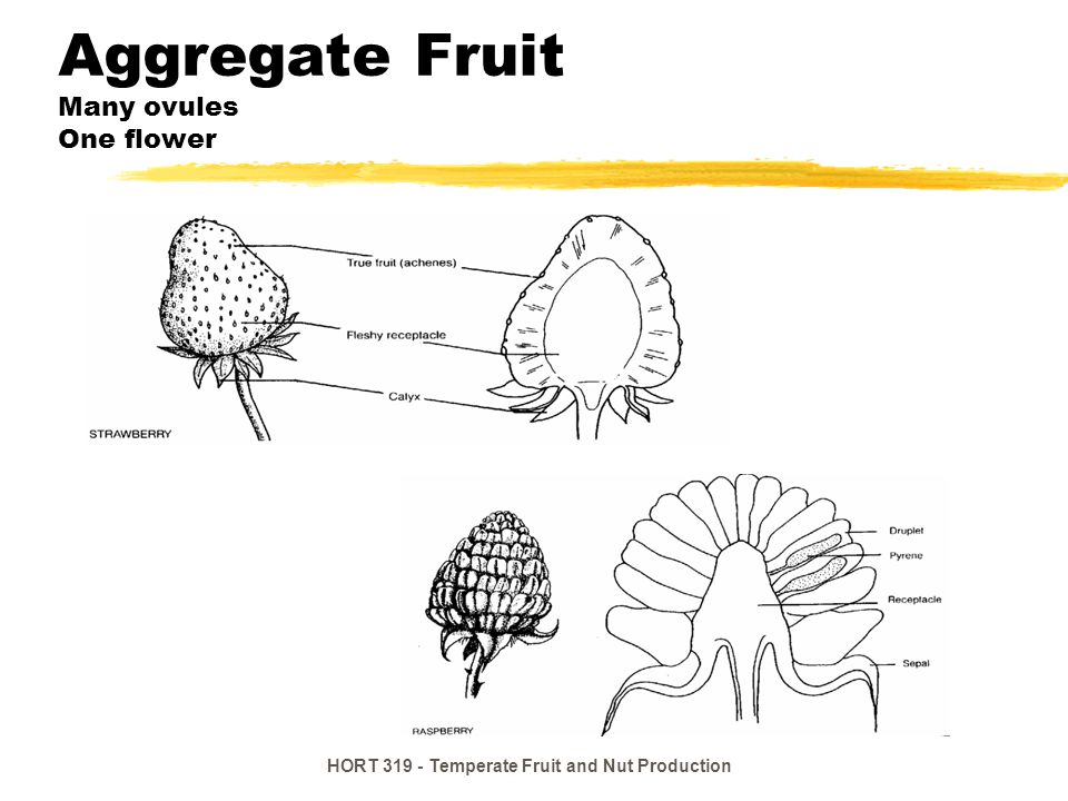 Aggregate Fruit Many ovules One flower
