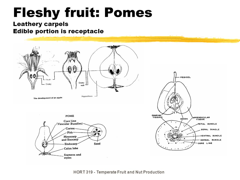 Fleshy fruit: Pomes Leathery carpels Edible portion is receptacle