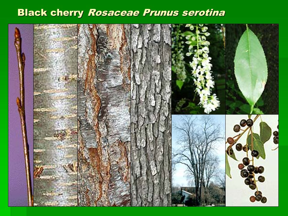 Black cherry Rosaceae Prunus serotina