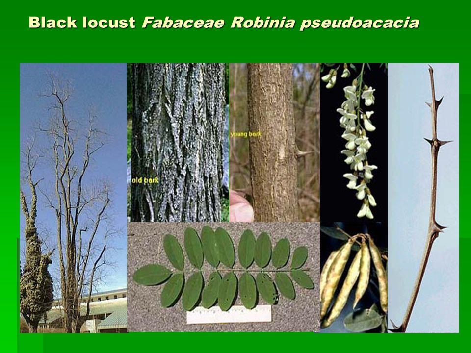 Black locust Fabaceae Robinia pseudoacacia