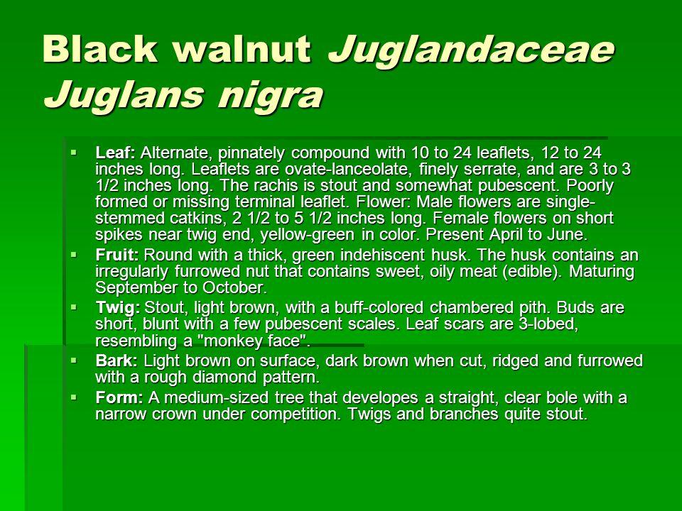 Black walnut Juglandaceae Juglans nigra