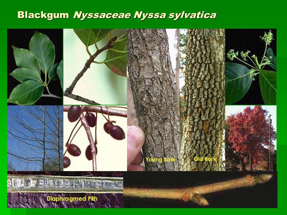 Blackgum Nyssaceae Nyssa sylvatica