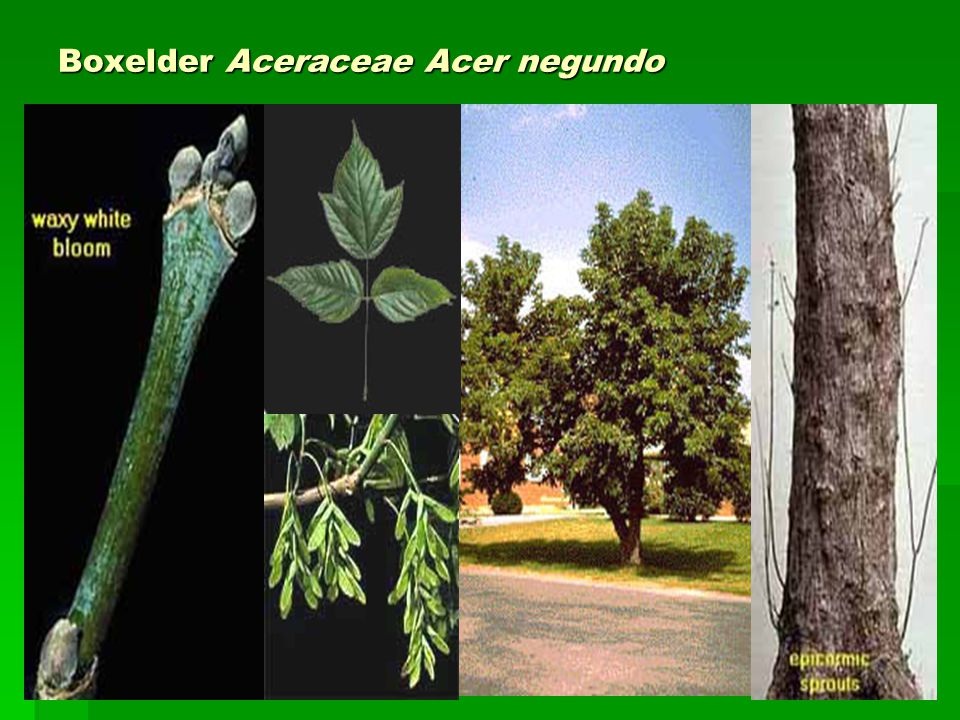 Boxelder Aceraceae Acer negundo