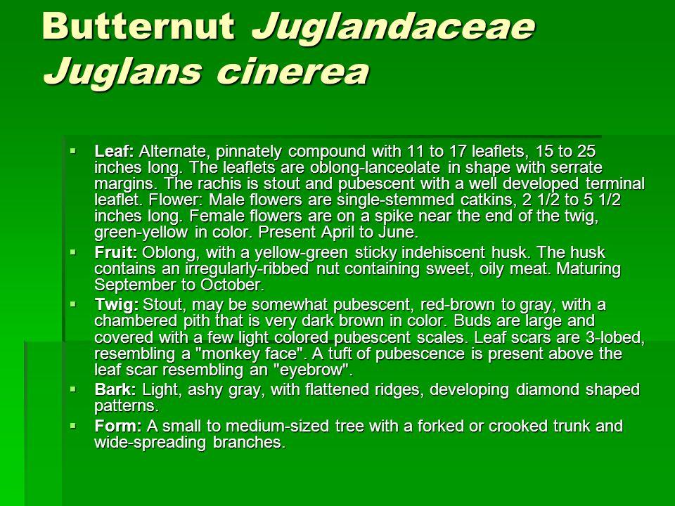 Butternut Juglandaceae Juglans cinerea