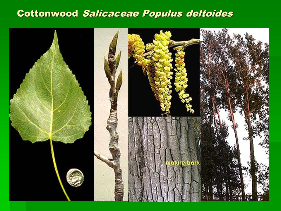 Cottonwood Salicaceae Populus deltoides