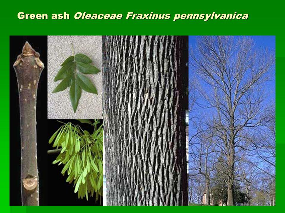 Green ash Oleaceae Fraxinus pennsylvanica