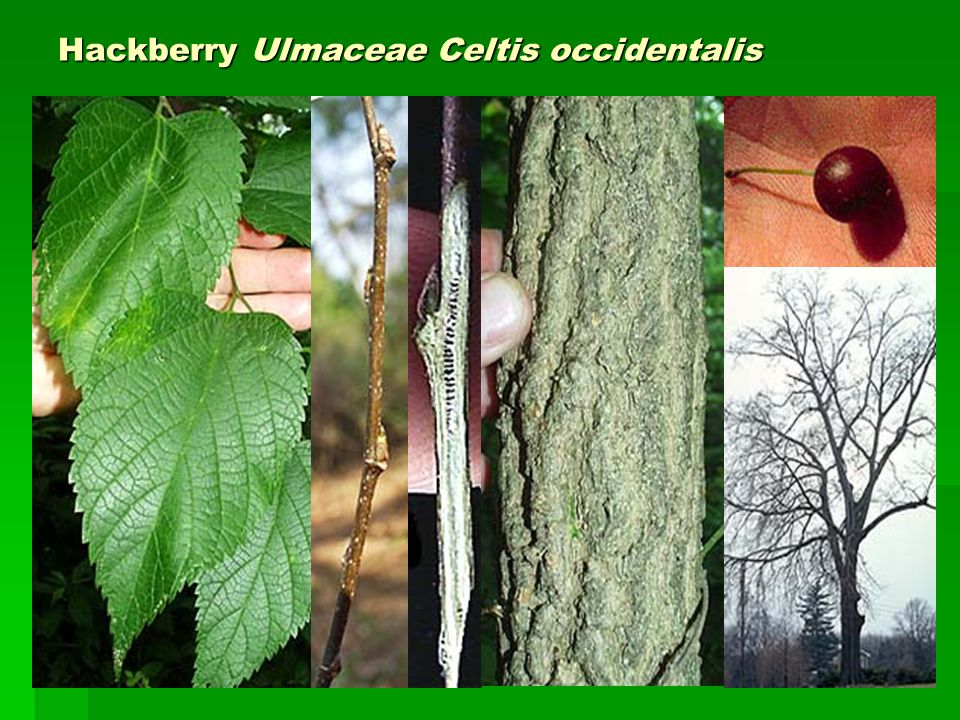 Hackberry Ulmaceae Celtis occidentalis
