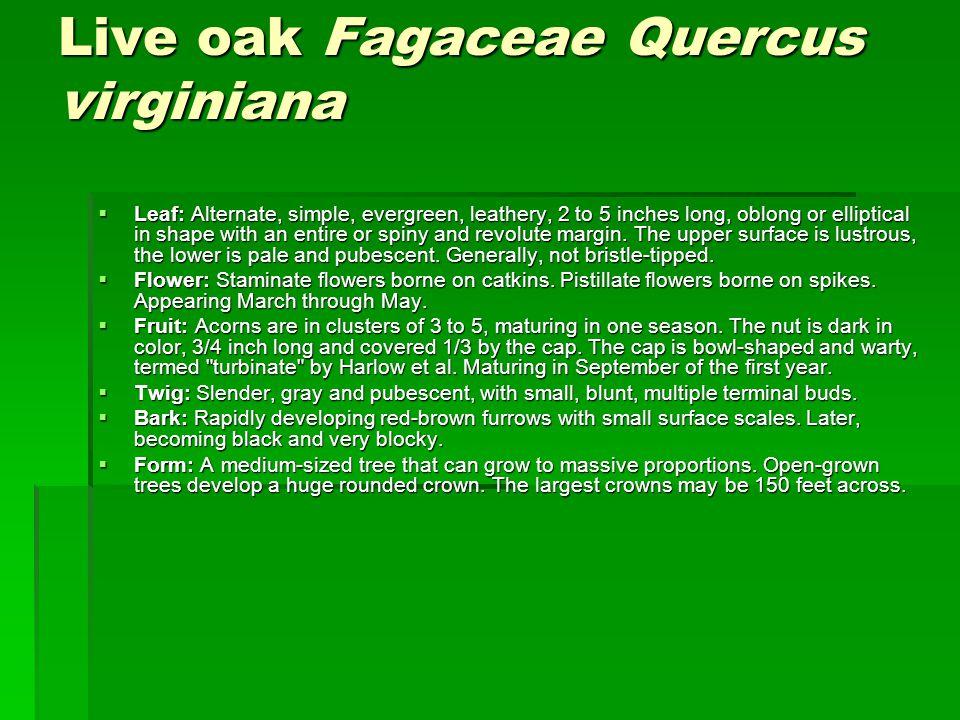 Live oak Fagaceae Quercus virginiana