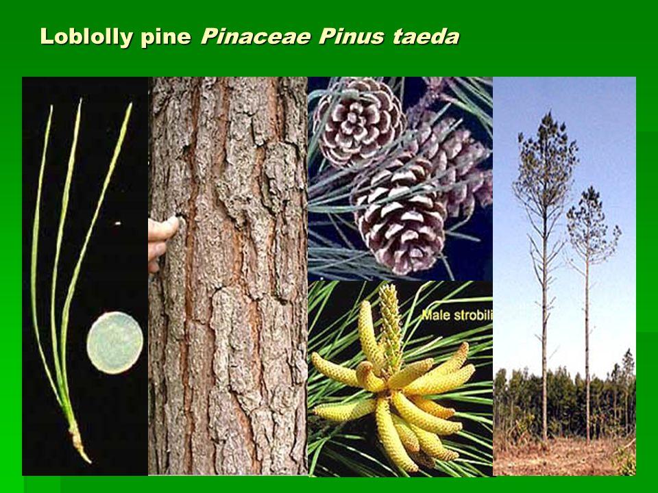 Loblolly pine Pinaceae Pinus taeda