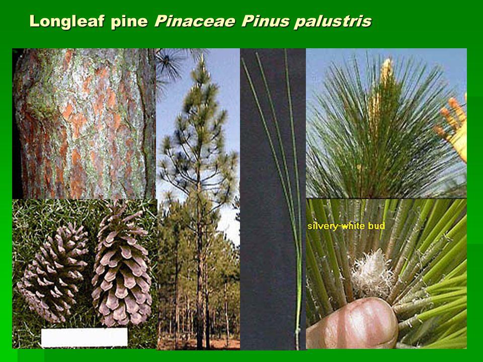Longleaf pine Pinaceae Pinus palustris