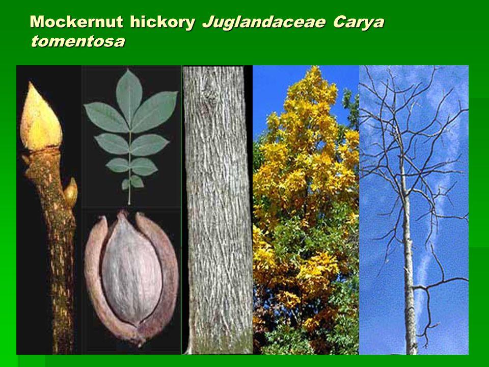 Mockernut hickory Juglandaceae Carya tomentosa