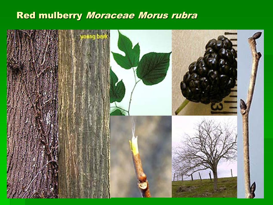 Red mulberry Moraceae Morus rubra