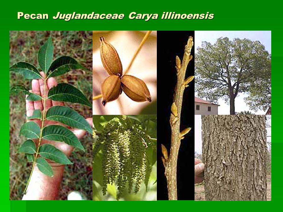 Pecan Juglandaceae Carya illinoensis