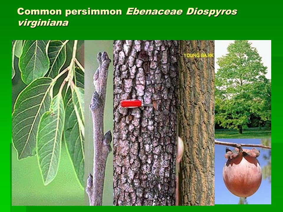 Common persimmon Ebenaceae Diospyros virginiana