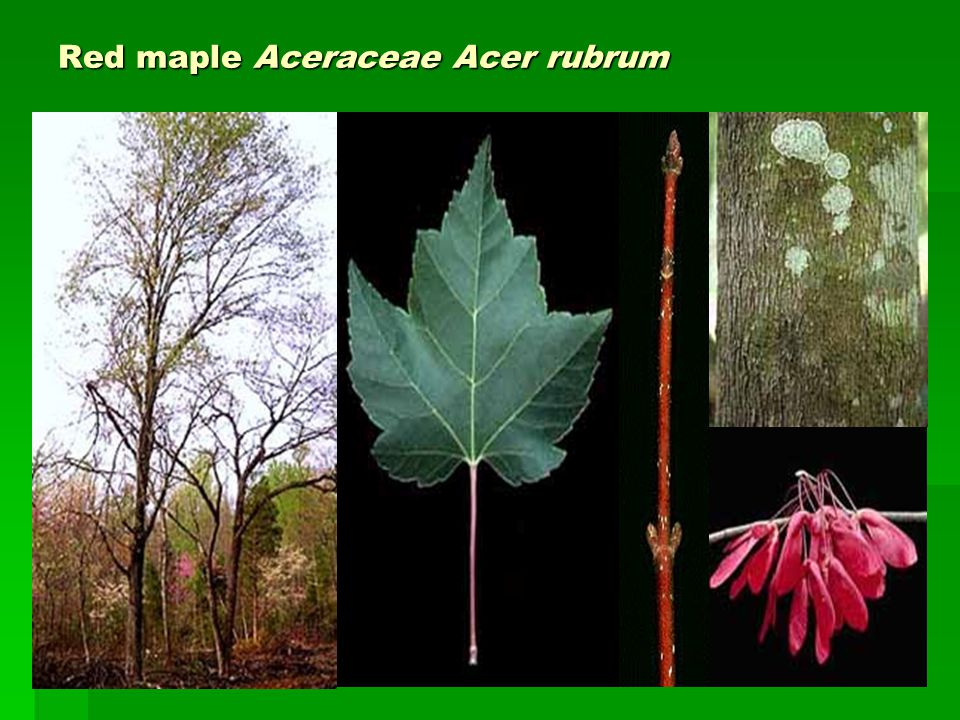 Red maple Aceraceae Acer rubrum