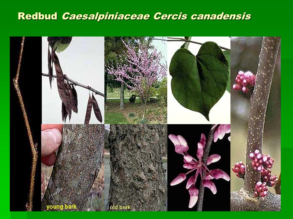 Redbud Caesalpiniaceae Cercis canadensis