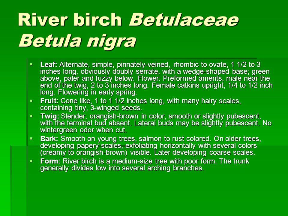 River birch Betulaceae Betula nigra