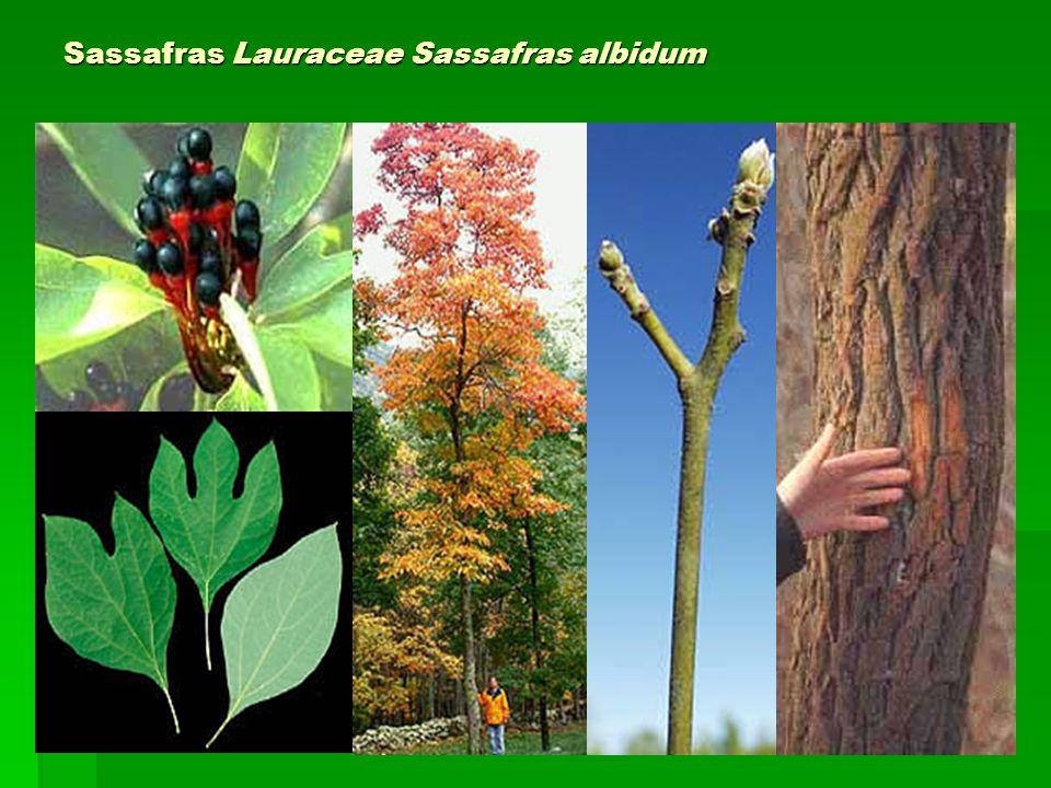 Sassafras Lauraceae Sassafras albidum
