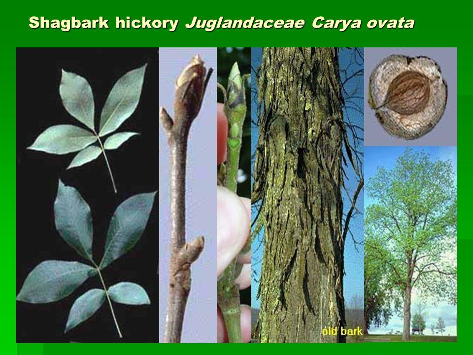 Shagbark hickory Juglandaceae Carya ovata