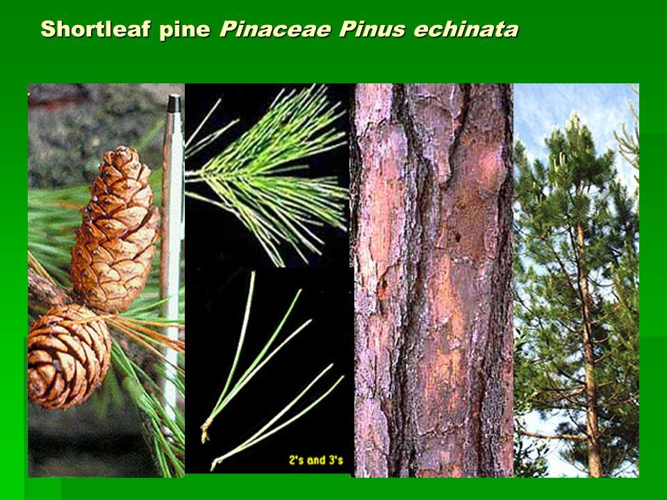 Shortleaf pine Pinaceae Pinus echinata
