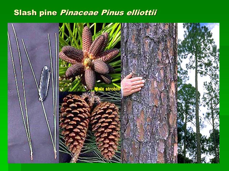 Slash pine Pinaceae Pinus elliottii