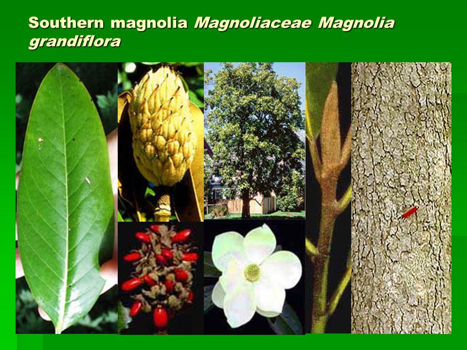 Southern magnolia Magnoliaceae Magnolia grandiflora