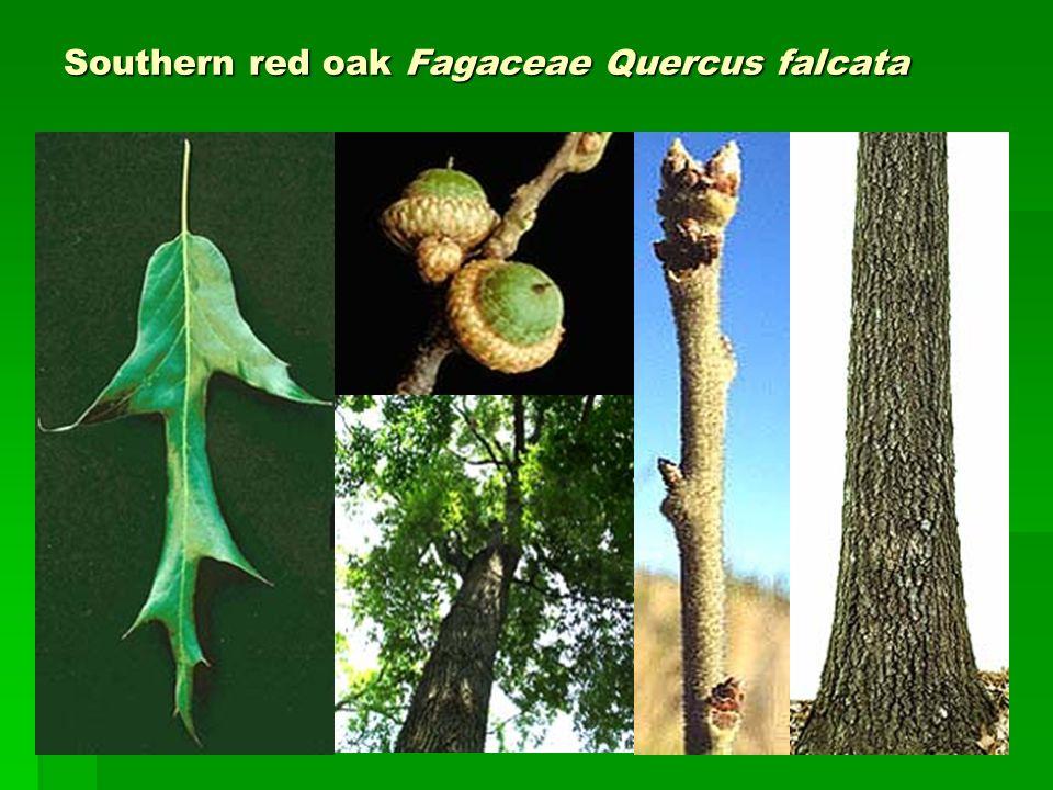 Southern red oak Fagaceae Quercus falcata