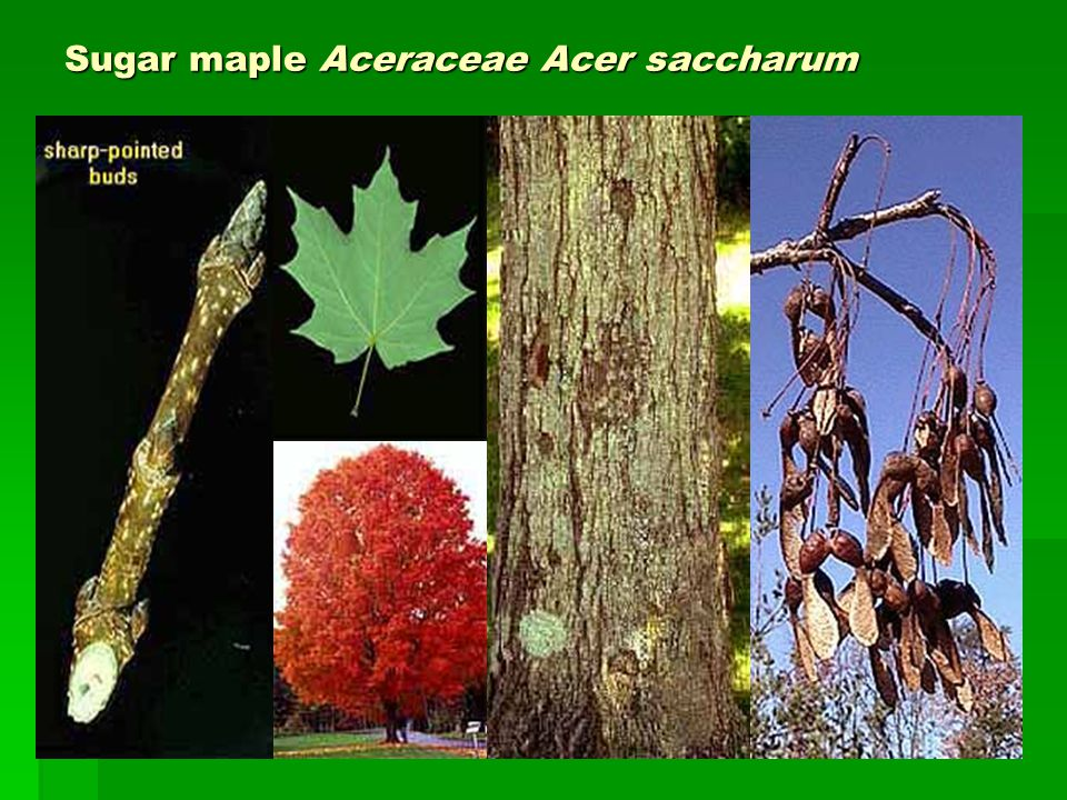 Sugar maple Aceraceae Acer saccharum