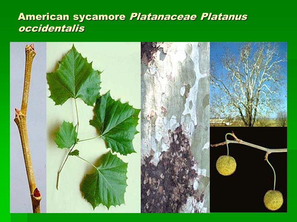 American sycamore Platanaceae Platanus occidentalis