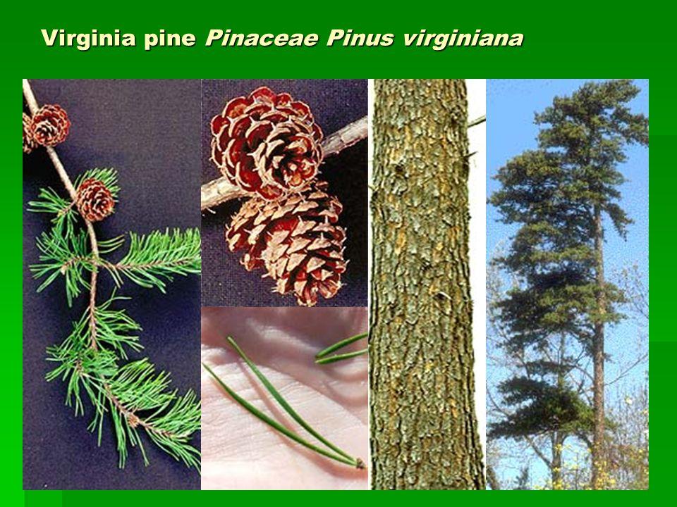 Virginia pine Pinaceae Pinus virginiana