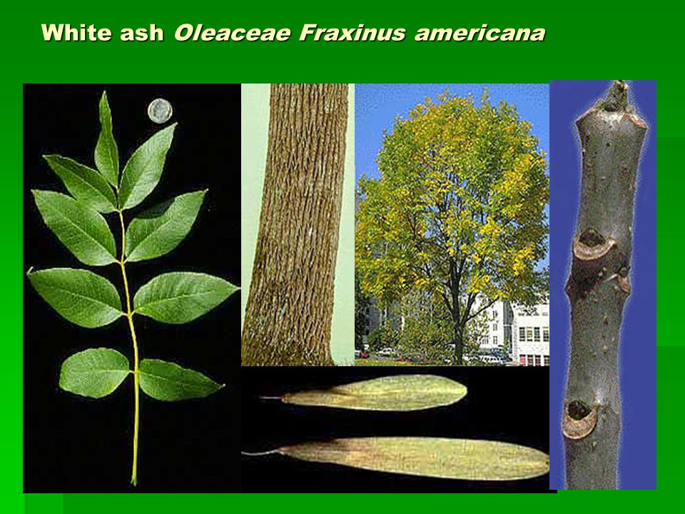 White ash Oleaceae Fraxinus americana