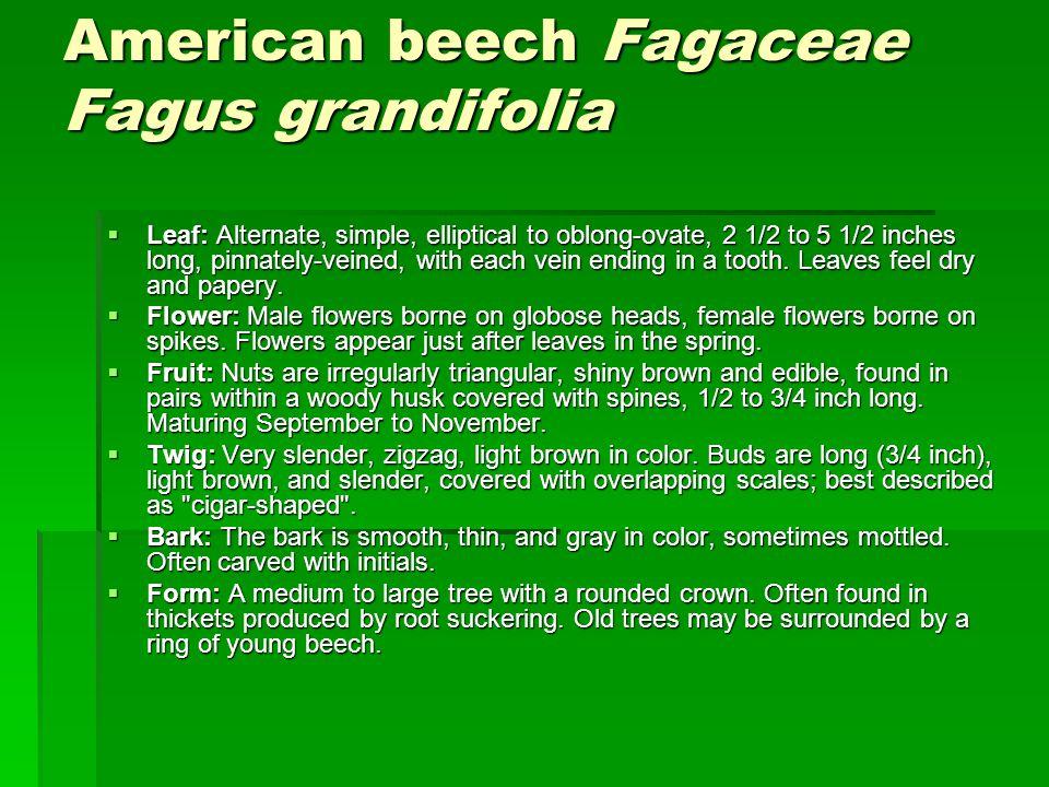 American beech Fagaceae Fagus grandifolia