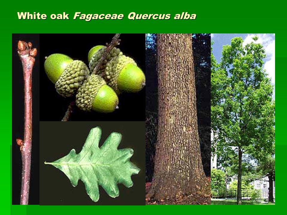 White oak Fagaceae Quercus alba