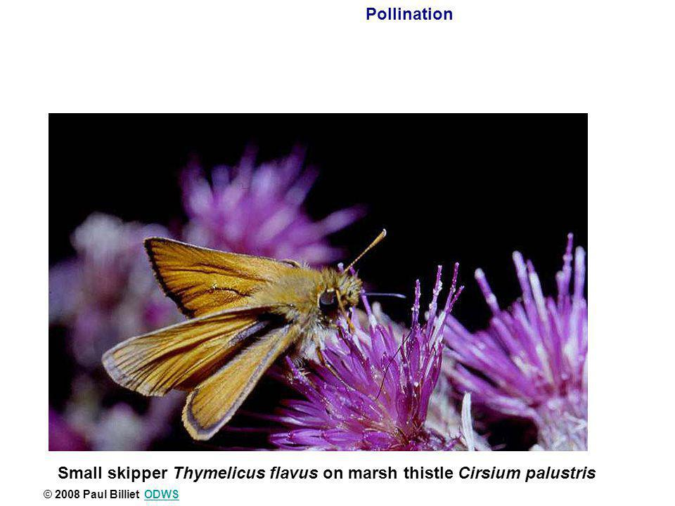 Small skipper Thymelicus flavus on marsh thistle Cirsium palustris