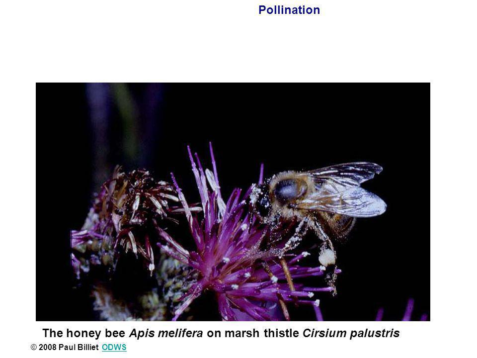 The honey bee Apis melifera on marsh thistle Cirsium palustris