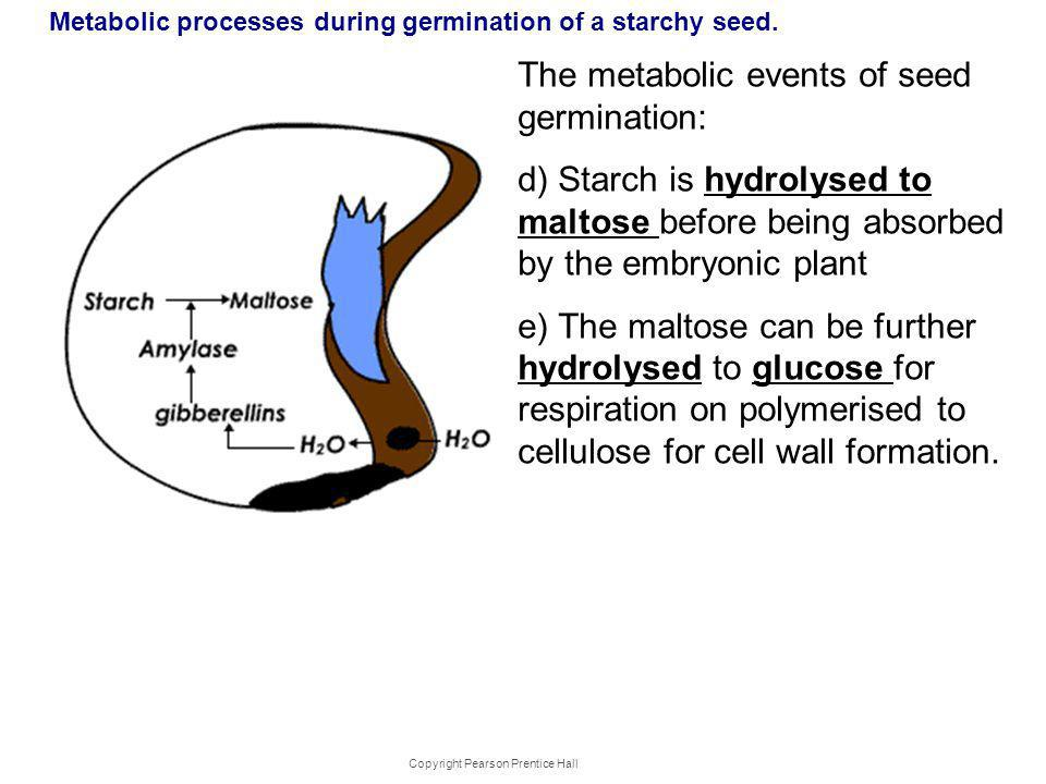 Metabolic processes during germination of a starchy seed.