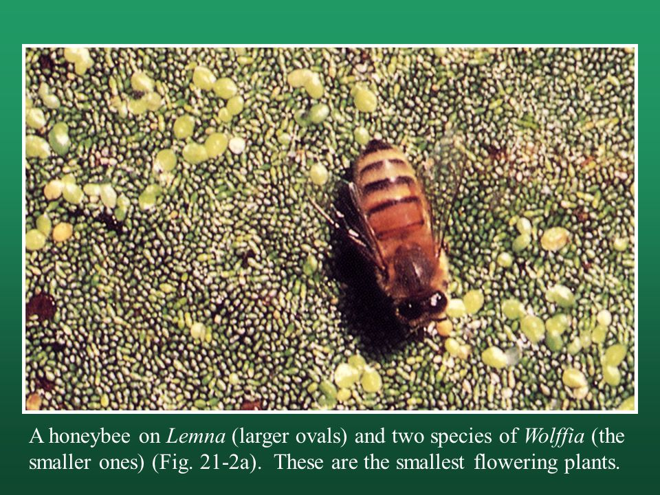 A honeybee on Lemna (larger ovals) and two species of Wolffia (the smaller ones) (Fig.