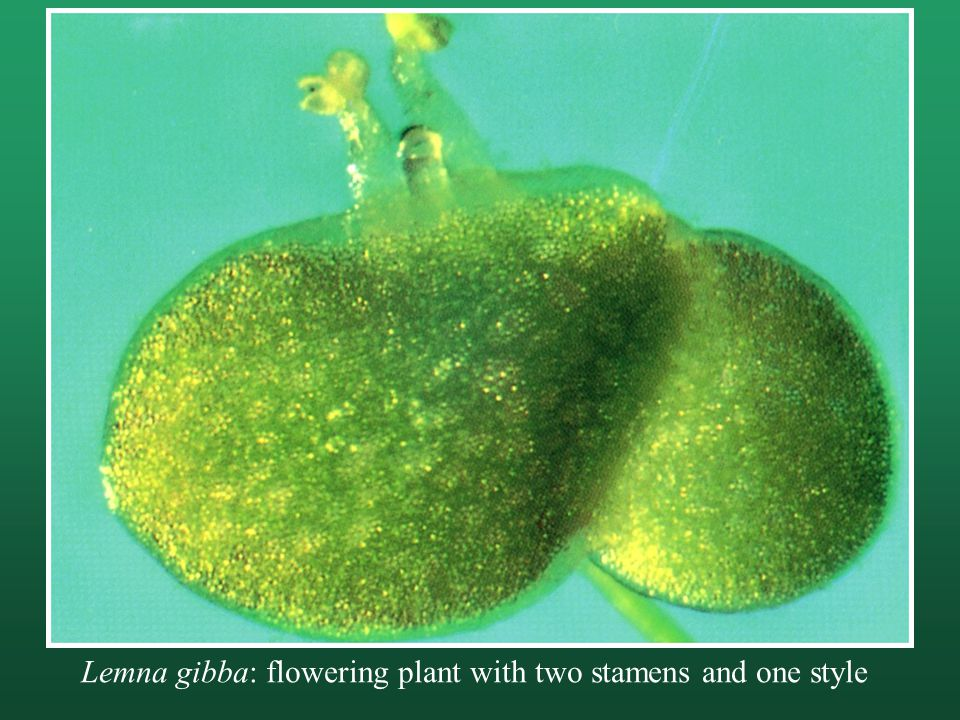 Lemna gibba: flowering plant with two stamens and one style