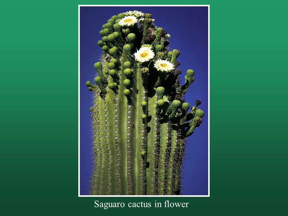 Saguaro cactus in flower