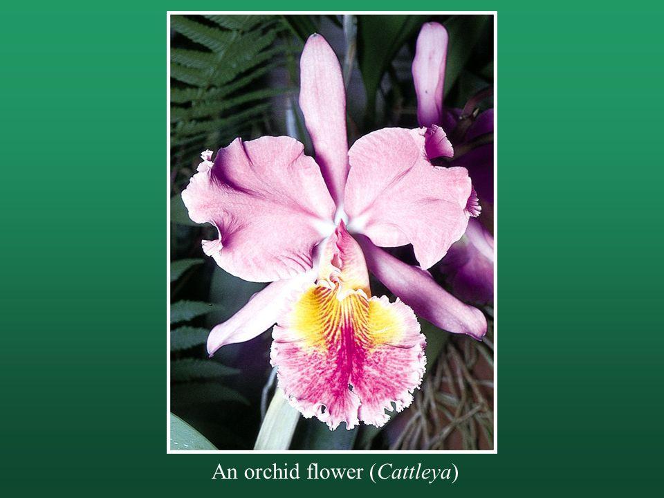 An orchid flower (Cattleya)