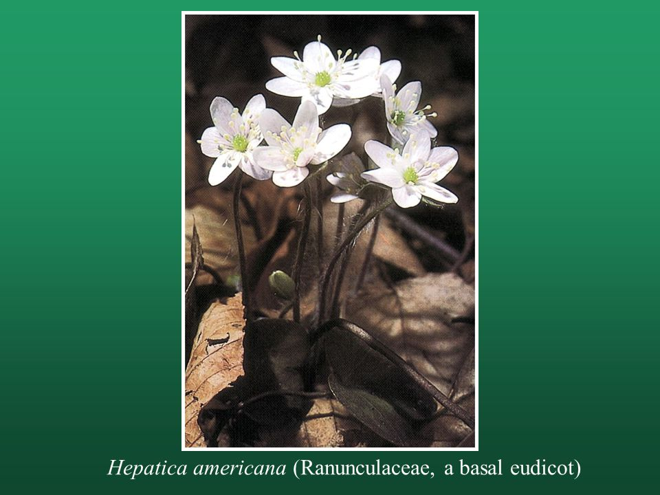 Hepatica americana (Ranunculaceae, a basal eudicot)