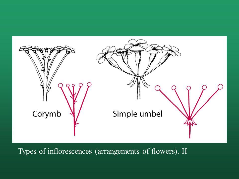 Types of inflorescences (arrangements of flowers). II