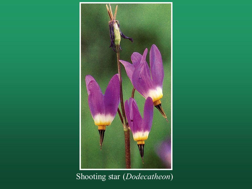 Shooting star (Dodecatheon)