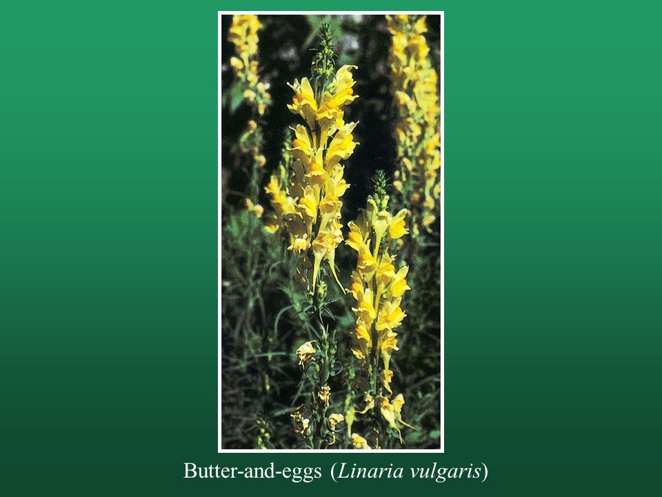 Butter-and-eggs (Linaria vulgaris)