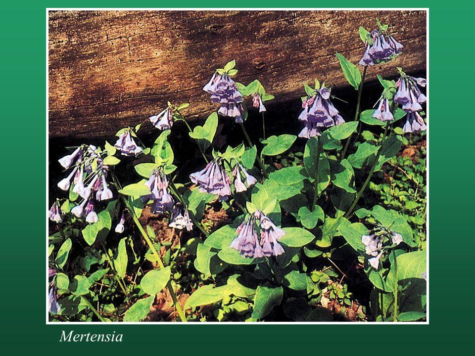 Mertensia